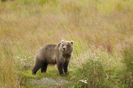 A brown or grizzly bear in Katmai National Park, Alaska.