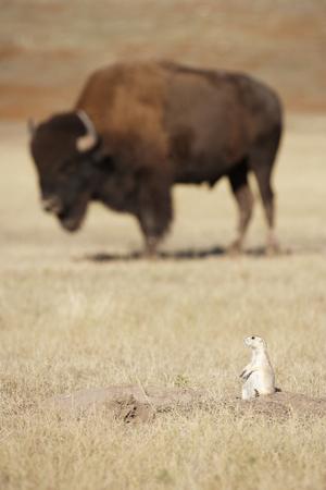 A black-tailed prairie dog with Bison Foto de archivo