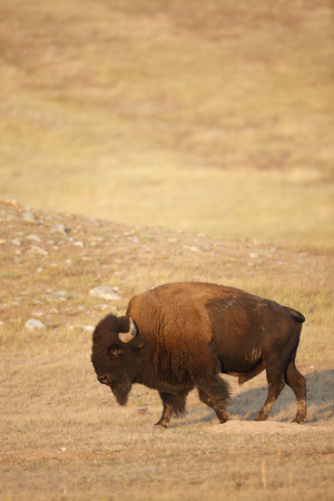 An american bison in the black hills of South Dakota