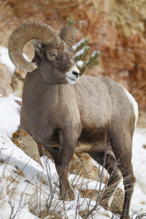 A bighorn sheep in a winter setting Stock fotó