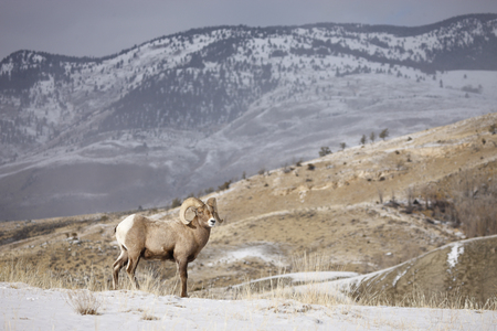 A bighorn sheep in a winter setting 스톡 콘텐츠