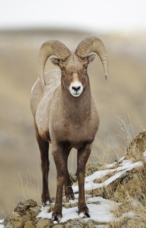 A bighorn sheep in a winter setting Stock Photo