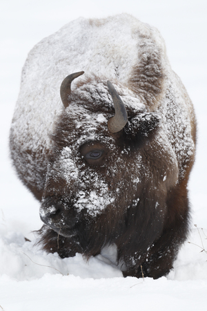 An American bison, commonly called buffalo in the snow.