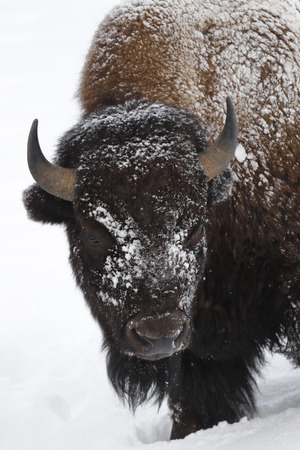 An American bison or buffalo in the snow.