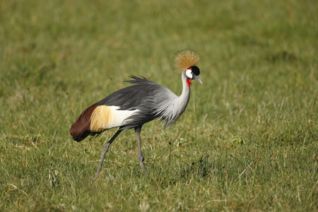 Grey Crowned Crane in the Ngorongoro Conservation Area.
