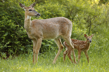 A white-tailed deer with her fawn