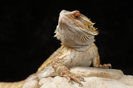 A Bearded Dragon with a black background Imagens