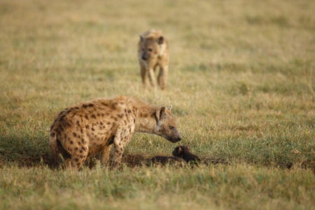 A spotted or laughing hyena at its den with pups in Africas Ngorongoro Conservation Area.