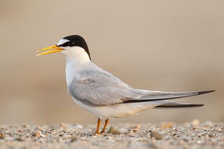 A least tern standing on the beach Stok Fotoğraf