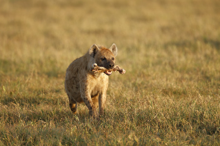 A spotted or laughing hyena with a bone after feeding on a kill in Africas Ngorongoro Conservation Area. Stock Photo