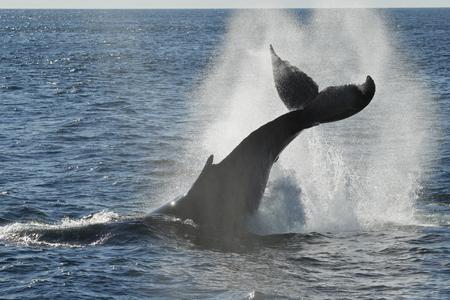 A Humpback Whale splashing in the Stellwagen Bank National Marine Sanctuary