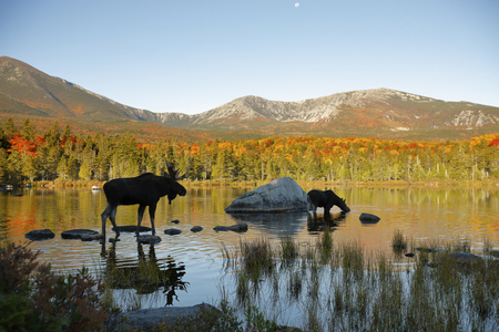 Two moose in a northern New England Pond 스톡 콘텐츠