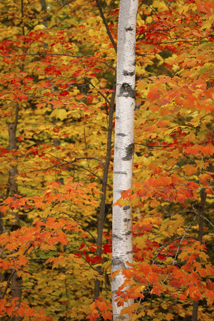 Birch Tree and Autumn Foliage