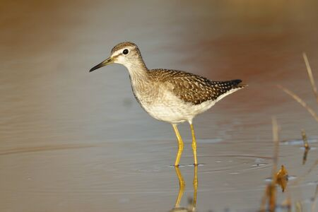 A Wood Sandpiper (Tringa glareola) wading in a marsh.