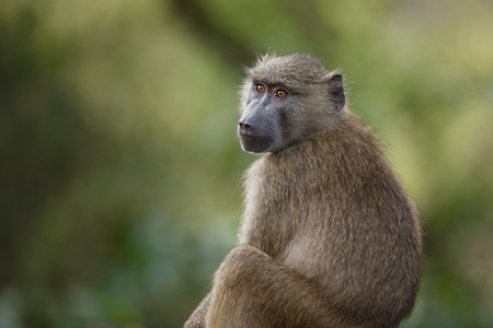An olive baboon in Africas Lake Manyara National Park Stock Photo