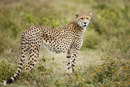 A cheetah on Africas Serengeti plains