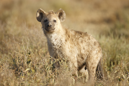 A spotted or laughing Hyena on the Serengeti Plains Stock Photo - 97378130