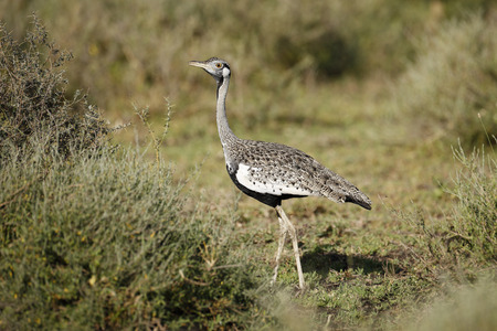 A Black-bellied Bustard on the Serengeti Plains Reklamní fotografie
