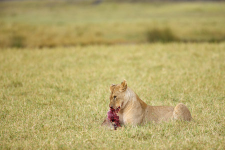 A lion feeding on the Serengeti plains Reklamní fotografie