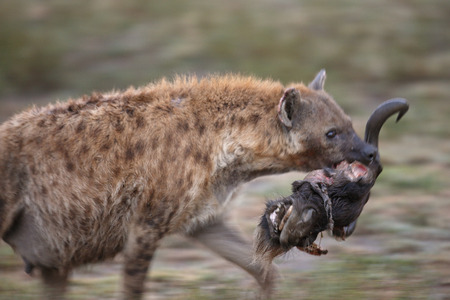 A Spotted or laughing hyena running with a Wildebeest Head. Tanzania, Africa.