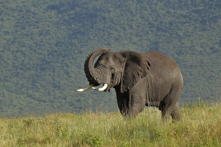 An african elephant in Africa's  Ngorongoro Conservation Area. Stock fotó