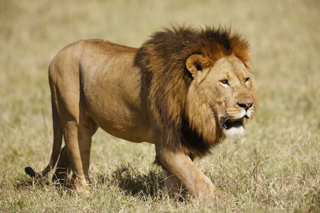 A lion in the Ngorongoro Conservation Area