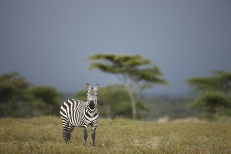 A zebra on Tanzanias Serengeti plain