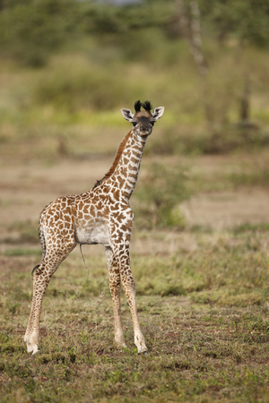 A newly born giraffe (umbilical cord is visible) in Africa's Serengeti reigion.