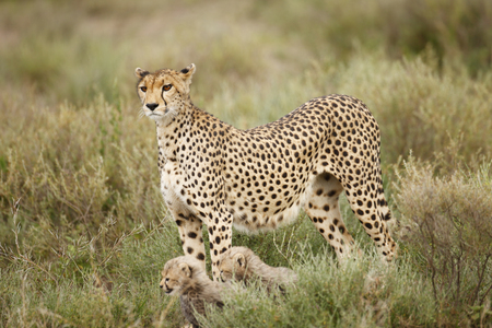 A cheetah with cubs on the Serengeti plains