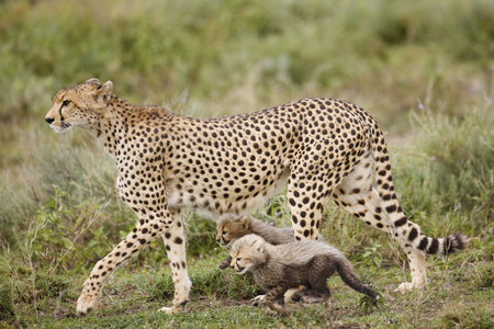 A cheetah with her cubs on the Serengeti Plains