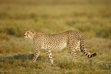 A cheetah walking on the Serengeti Plains