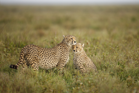 Two Cheetahs on the Seregeti Plains 写真素材