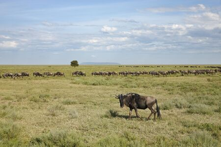 A Herd of wildebeest migrating on the Serengeti plains.