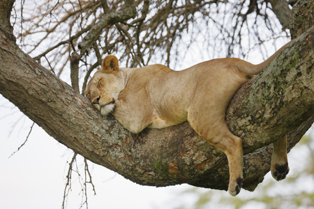 A lion rests on a limb of a tree in Serengeti National Park Reklamní fotografie
