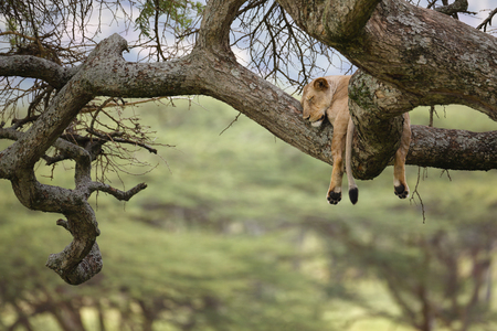 A female lion sleeping in a tree in Africas Serengeti National Park. Reklamní fotografie