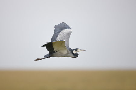 A Black-headed Heron in flight over Africas Serengeti National Park.