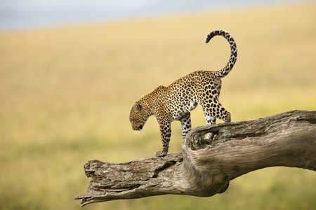 A leopard in Africas Serengeti National Park.