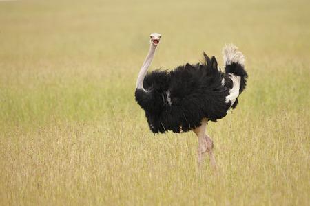 An Ostrich on the Serengeti plains