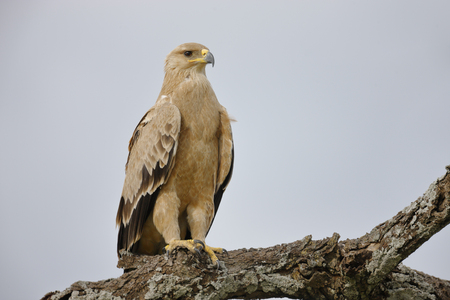 A Tawny eagle perched in Africas Serengeti National Park