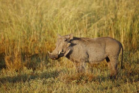 A worthog in Africa's Serengeti National Park. Foto de archivo