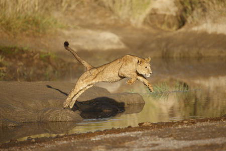 A young lion jumping over a stream in Africas Serengeti National Park. Reklamní fotografie