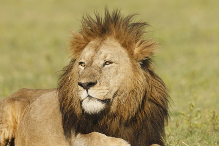 A male lion in africa's Ngorongoro Conservation Area.