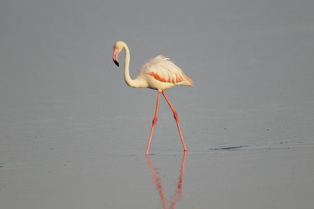Greater Flamingo wading in water, Tanzania, Africa.