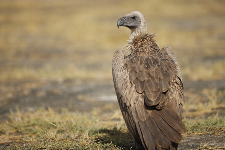 An African White-backed Vulture on the Serengeti Plains