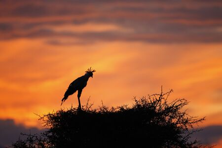 A vibrant East African sunrise with a secretary bird in silhouette. Reklamní fotografie