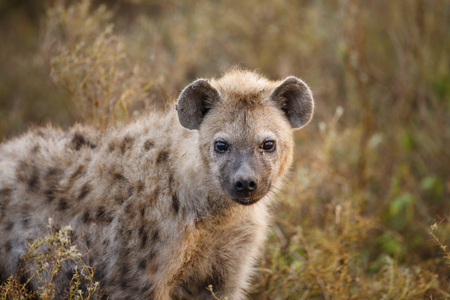 A spotted or laughing Hyena on the Serengeti Plains Banque d'images