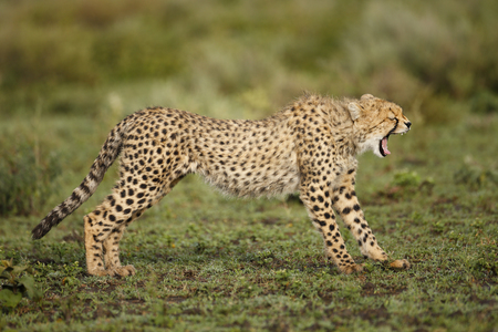 A cheetah yawning on the Serengeti Plains Stock Photo