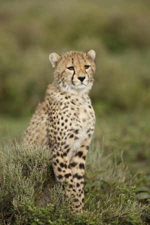 A young cheetah on the Serengeti Plains