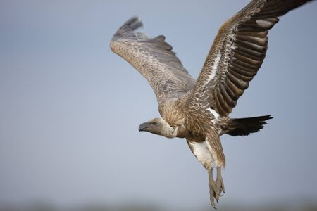 An African White-backed vulture comes in for a landing over the Serengeti Plains