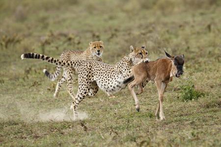 Cheetahs chasing a wildebeest